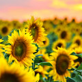 Sunflowers field at sunset Royalty Free Stock Photo