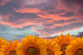 Sunflowers field of on sunset sky Royalty Free Stock Photography