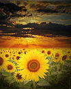 Sunflowers field at sunset time Royalty Free Stock Photo