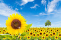 Sunflowers field with tree and blue sky Stock Photos