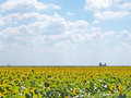 Sunflowers fields with an ancient church ruins Royalty Free Stock Photo