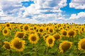 Sunflowers in a floor on a background of the sky w Stock Photography