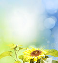 Sunflowers in front of blue green background Stock Photo