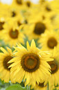 Sunflowers in full bloom Royalty Free Stock Photos
