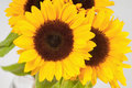 Sunflowers in a glass vase Royalty Free Stock Photo