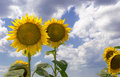 Sunflowers golden the blue sky and white clouds Royalty Free Stock Image