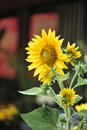 Sunflowers with green leaves on blur windows at background Stock Photo