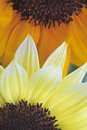 Sunflowers Helianthus Annuus Stock Images