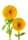 Sunflowers, helianthus annuus Stock Images