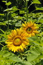 Sunflowers (Helianthus annuus) in a field Stock Images