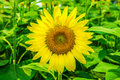 Sunflowers or Helianthus annuus field Royalty Free Stock Photo