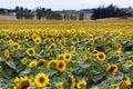 Sunflowers (Helianthus annuus) Royalty Free Stock Photo