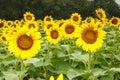 Sunflowers Helianthus