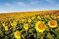 Sunflowers on a hillside Royalty Free Stock Image