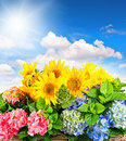 Sunflowers and hortensia blossoms over blue sky. Summer flowers Royalty Free Stock Photo