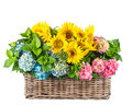 Sunflowers and hortensia blossoms. Summer flowers in basket Royalty Free Stock Photo