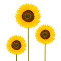 Sunflowers isolated on white background Royalty Free Stock Images