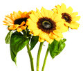 Sunflowers Isolated On White B...