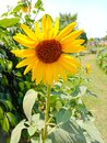Sunflower in field. Closeup of yellow sun flower. Farming concept. Background, nature, summer, seed, circle, petals.Sunflowers, Royalty Free Stock Photo