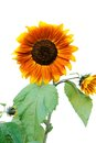 Sunflowers with leaves. Stock Photography