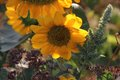 The sunflowers lit by the sun Royalty Free Stock Photo