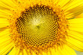 Sunflowers macro detail. Stock Photography