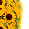 Sunflowers and marigold flowers bouquet fresh border isolated on white background Royalty Free Stock Photography