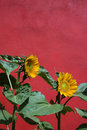 Sunflowers and Red Wall Royalty Free Stock Photography