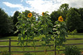 Sunflowers and rustic fence Royalty Free Stock Photo