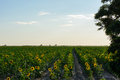 Sunflowers sea, sky, forest Royalty Free Stock Photo