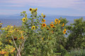 Sunflowers seascape scene Royalty Free Stock Photo