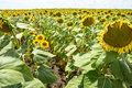 Sunflowers in southern Bulgaria Royalty Free Stock Photo