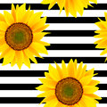 Sunflowers on a striped black and white. Seamless pattern