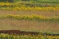 Sunflowers, sumac, tall grass prairie Royalty Free Stock Photo