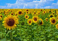 Sunflowers summer field with bright Stock Photo