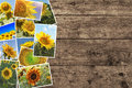 Sunflowers In Summer - Photo C...