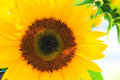 Sunflowers in the sun at farmer's market. Royalty Free Stock Photo