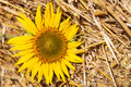 Sunflowers sunflower on a background of wheat straw Royalty Free Stock Image