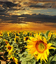 Sunflowers and sunset Stock Photography