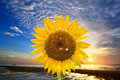 Sunflowers and sunset Royalty Free Stock Photo
