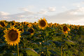 Sunflowers at sunset Royalty Free Stock Photo