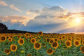 Sunflowers on sunset in summer Royalty Free Stock Image