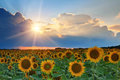 Sunflowers on sunset in summer Stock Images