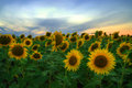 Sunflowers table land dobruja near kichevo village bulgaria with lovely and amazing sunset dobruja is a low plateau where many Royalty Free Stock Images