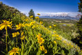 Sunflowers in the tetons summer wildklowers on a hillside overlooking hedrick pond Royalty Free Stock Photography