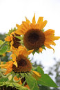 Sunflowers two in moscow russia Stock Photos