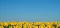 Sunflowers under the blue sky. Royalty Free Stock Photo
