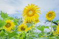 Sunflowers under the blue sky Royalty Free Stock Photo