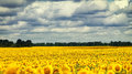 Sunflowers under the dramatic sky Royalty Free Stock Photo