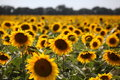 Sunflowers under the happy sun Royalty Free Stock Photo